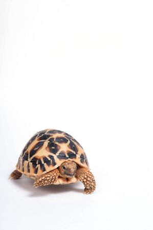 Indian Star Tortoise (Geochelone elegans) isolated on white background.  photo