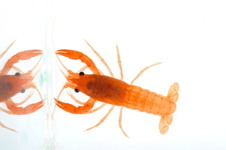 Freshwater crayfish Stock Photo - 17478802