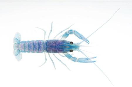 Freshwater crayfish Stock Photo - 17478795