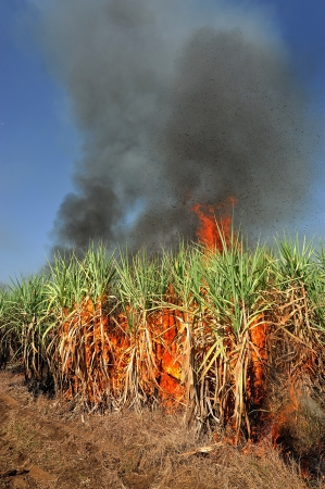 Sugarcane on Fire in thailand  photo