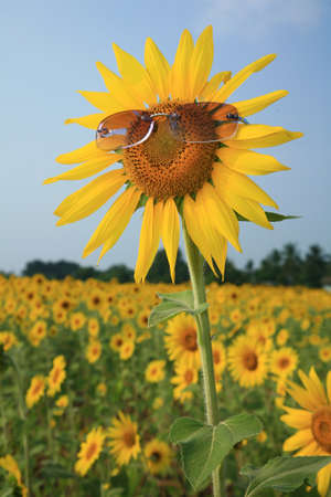 yellow sunflower in sunglasses with blue sky, Thailand.  photo