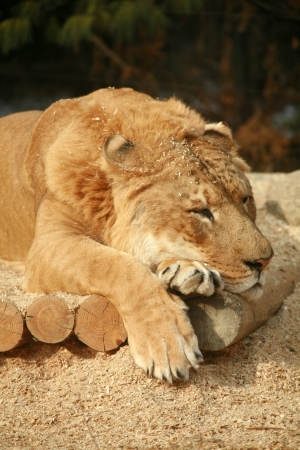 Siberian Liger sleeping photo