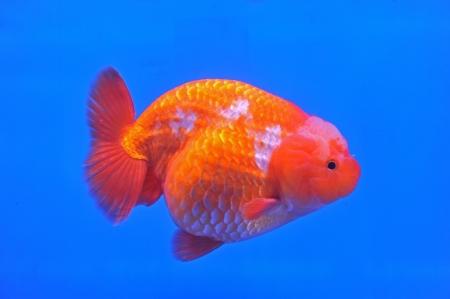 Ranchu Lion Head goldfish in fish tank