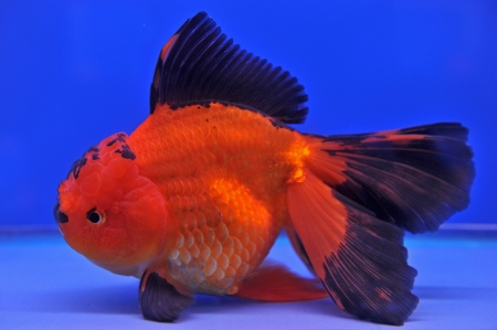 Goldfish in a glass cabinet  Stock Photo - 18980242