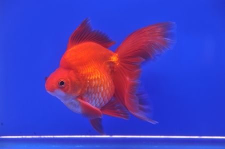 Goldfish in a glass cabinet  Stock Photo - 18980296