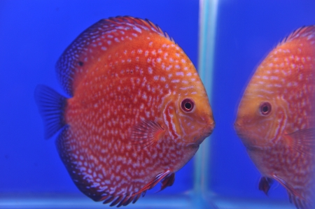 anubias: Red Stripe Pigeon Blood Discus