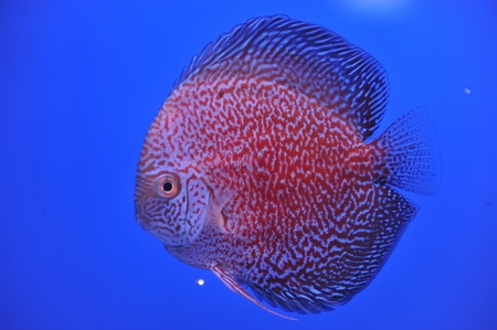 discus in an aquarium on a blue background  photo