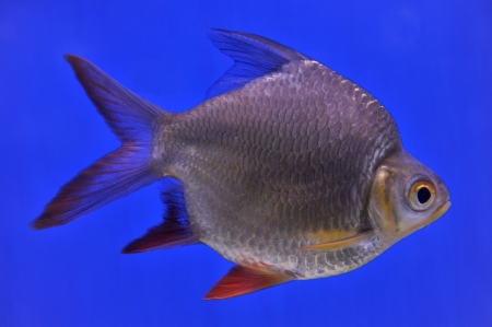 barb in aquarium photo