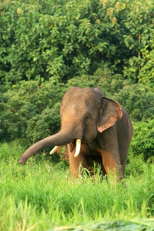 Asian Elephants photo