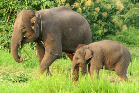 Mother and baby elephant with the chain photo