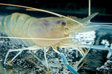 tiger shrimp:  tiger prawn in tank