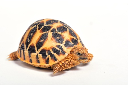 Indian Star Tortoise (Geochelone elegans) isolated on white background.  Stock Photo