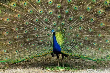 peacock wheel: Close-up of Male Indian Peafowl displaying tail feathers