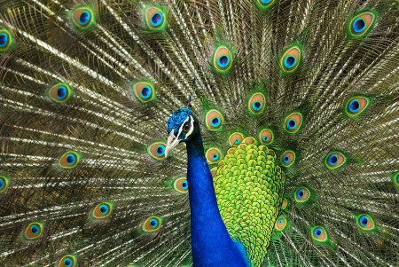 indian peafowl: Close-up of Male Indian Peafowl displaying tail feathers