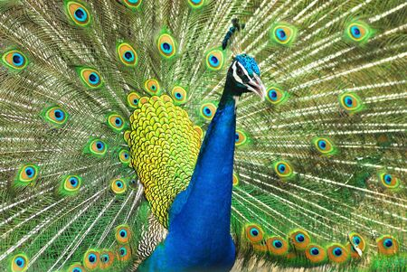 common peafowl: Close-up of Male Indian Peafowl displaying tail feathers