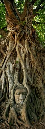 Wat Mahathat Buddha head in tree, Ayutthaya  Stock Photo - 20097148
