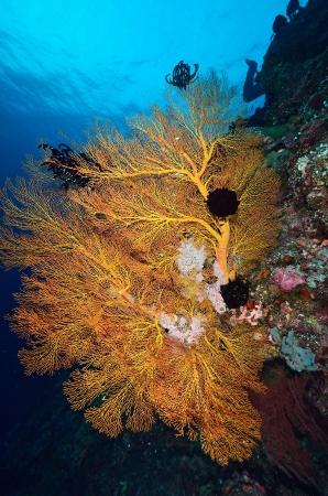 Huge orange sea fan in Layang Layang, Malaysia Stock Photo - 20309116