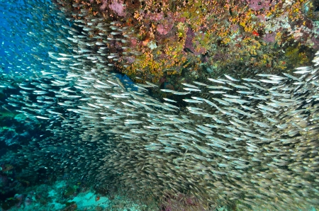 Shoal of Glassfish (Sweeper Fish), Similan island, Thailand