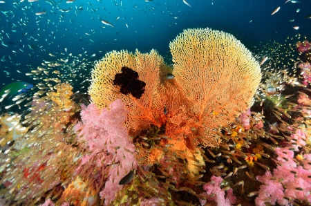 red coral colony: coral, fish and seafan  Stock Photo