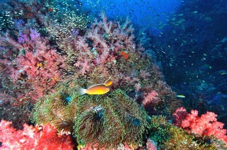 coral colony: Morbido colonia di corallo con pesci pagliaccio, Similan island Thailandia