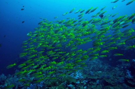group of yellow runner in blue sea, Similan, Thailand. Stock Photo - 20446101