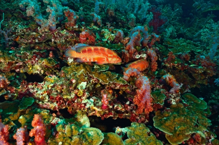 Red cod swiming around coral Stock Photo - 20446092
