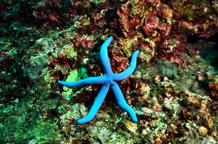 blue sea stars close up on the rock background  Stock Photo - 20446085