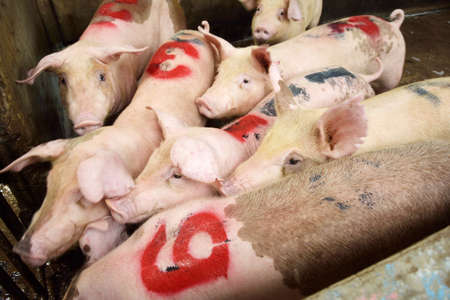 piglets: A number of young piglets being reared in pen