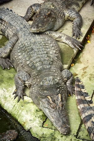 Sleeping crocodiles on crocodile farm, Thailand  photo