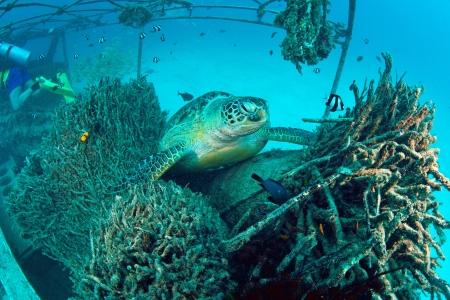 Sea Turtle on coral reef underwater with blue ocean, Sipadan, Malaysia  photo