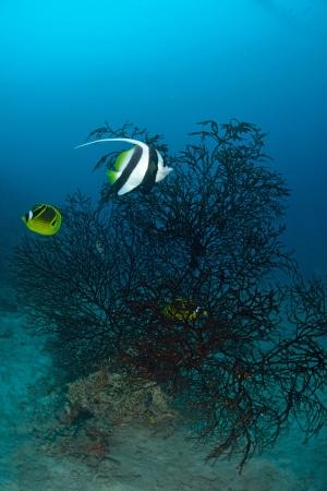 Longfin bannerfish in the tropical waters of Sipadan, Malaysia Stock Photo - 22619043