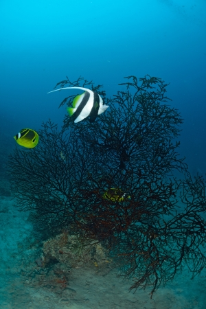 chaetodontidae: Longfin bannerfish in the tropical waters of Sipadan, Malaysia Stock Photo