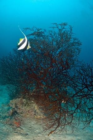 chaetodontidae: Longfin bannerfish in the tropical waters of Sipadan, Malaysia Stock Photo
