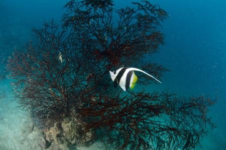 Longfin bannerfish in the tropical waters of Sipadan, Malaysia Stock Photo - 22619045