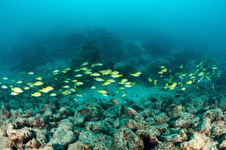 School Yellow snapper Fish in Sipadan, Malaysia Stock Photo - 22619046