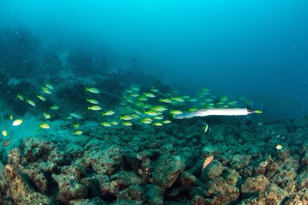 School Yellow snapper Fish in Sipadan, Malaysia Stock Photo - 22619047
