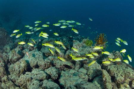 School Yellow snapper Fish in Sipadan, Malaysia photo