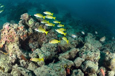 School Yellow snapper Fish in Sipadan, Malaysia Stock Photo - 22619049