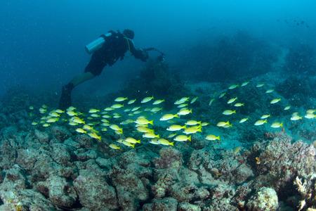 School Yellow snapper Fish and diver in Sipadan, Malaysia Stock Photo - 22619050