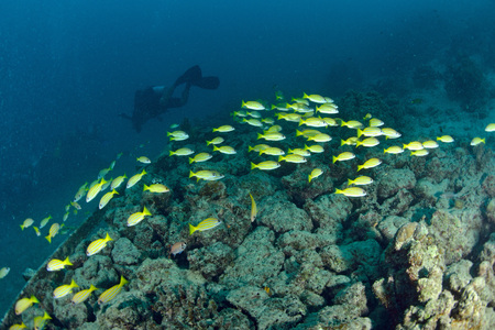 School Yellow snapper Fish in Sipadan, Malaysia Stock Photo - 22619051