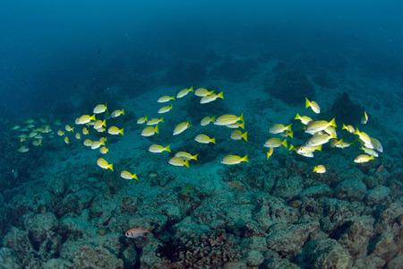 School Yellow snapper Fish in Sipadan, Malaysia Stock Photo - 22618892