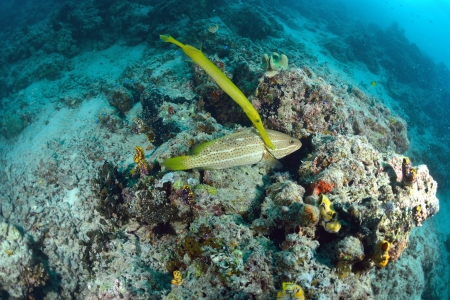 trumpetfish from the reefs of the Mabul ocean, Sipadan, Malaysia photo