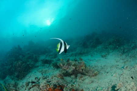Longfin bannerfish in the tropical waters of Sipadan, Malaysia Stock Photo - 22578695