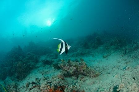 Longfin bannerfish in the tropical waters of Sipadan, Malaysia Stock Photo - 22578695