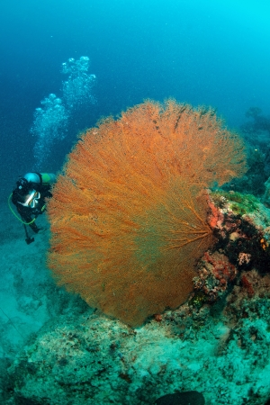 Giant seafan with diver underwater in Sipadan, Malaysia photo