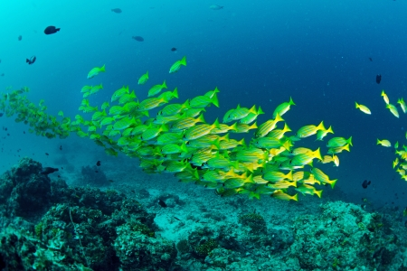 Yellow runner school fish in Sipadan, Malaysia photo