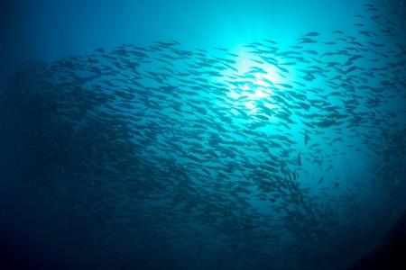 School of jackfish on artificial reef in Mabul, kapalai, Malaysia photo