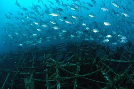 mabul: School of jackfish on artificial reef in Mabul, kapalai, Malaysia
