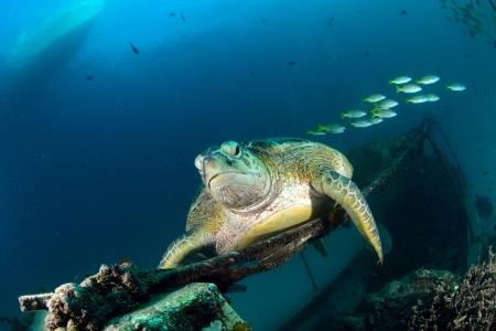 mabul: Sea turtle resting near dive center in Mabul, Sipadan, Malaysia