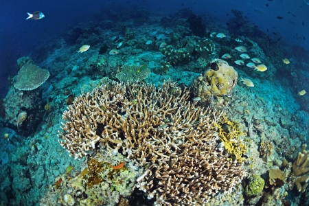 Underwater staghorn table coral in Sipadan, Malaysia  photo